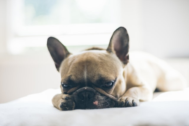 Fight Dog Diarrhea With IgY Antibodies